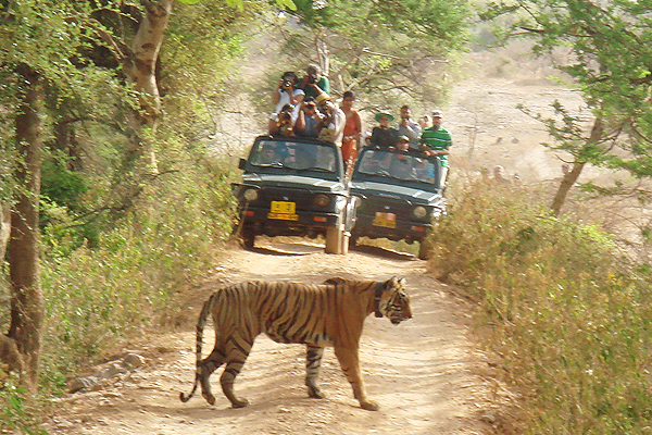 ranthambore-tiger image picture